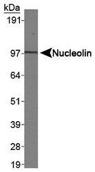 NB100-1920 - Nucleolin