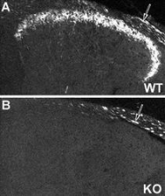NB110-59978 - NPY receptor 2 / NPY2R