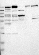 32190002 - Myosin-Vc