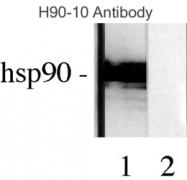 NB110-61640 - HSP90AB1 / HSP90 beta