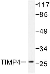 NB100-92109 - TIMP4