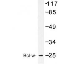 NBP1-19705 - Bcl-2-like 2