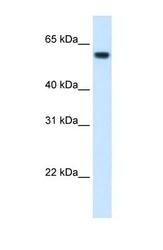 NBP1-54997 - 58K Golgi Protein