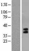 NBL1-11775 - 5HT1B Receptor Lysate