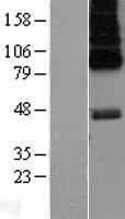 NBL1-11782 - 5HT6 Receptor Lysate