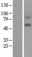 NBL1-11783 - 5HT7 Receptor Lysate