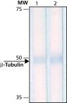 NB600-1514 - TUBB / TUBB5