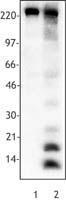 NB100-78428 - Acetylated Lysine