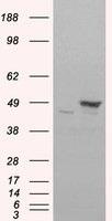 NB100-1043 - Flotillin-1 / FLOT1