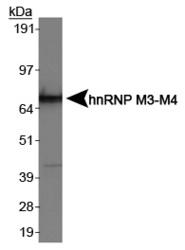 NB200-315 - hnRNP-M / HNRNPM