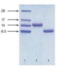 NB120-13123 - Natriuretic peptides B
