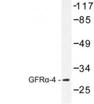 NBP1-00848 - GFRA4 / GDNFR-alpha 4