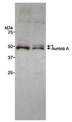 NB100-917 - Aurora kinase A
