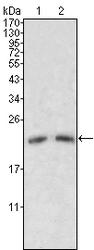 NB110-60526 - Apolipoprotein M (Apo M)