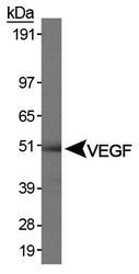 NB100-648 - VEGF-A
