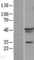 NBL1-07156 - A2BP1 Lysate