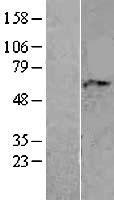 NBL1-07159 - AAAS Lysate