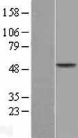 NBL1-07161 - AADAC Lysate