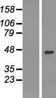 NBL1-07163 - AADACL2 Lysate