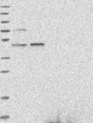 NBP1-81143 - AARSD1