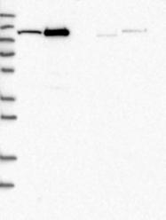 NBP1-82832 - AASS