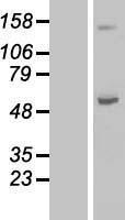 NBL1-07170 - ABAT Lysate