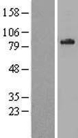 NBL1-07179 - ABCD1 Lysate
