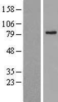 NBL1-07180 - ABCD2 Lysate
