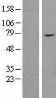 NBL1-07182 - ABCE1 Lysate