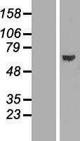 NBL1-07183 - ABCE1 Lysate
