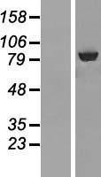 NBL1-07185 - ABCF3 Lysate