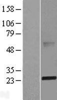 NBL1-07194 - ABHD14B Lysate