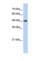 NBP1-53199 - ABHD2 / LABH2