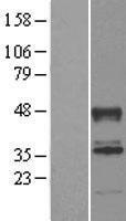 NBL1-07195 - ABHD2 Lysate