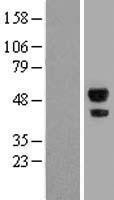 NBL1-07196 - ABHD2 Lysate