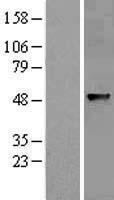NBL1-07202 - ABHD8 Lysate