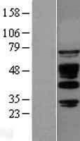 NBL1-07203 - ABI1 Lysate