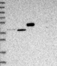 NBP1-89303 - ABLIM1