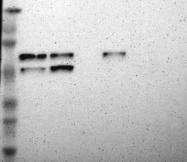 NBP1-81471 - ABLIM3