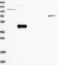 NBP1-89067 - ABP1