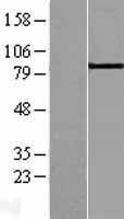 NBL1-07212 - ABP1 Lysate