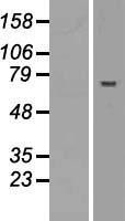 NBL1-07215 - ABTB2 Lysate