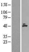 NBL1-07220 - ACADM Lysate