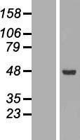 NBL1-07222 - ACADSB Lysate