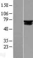 NBL1-07223 - ACADVL Lysate