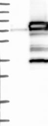 NBP1-83379 - ACBD3