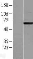 NBL1-07226 - ACBD3 Lysate