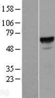 NBL1-07236 - ACD Lysate