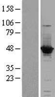 NBL1-07245 - ACOT1 Lysate