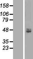 NBL1-07253 - ACP6 Lysate